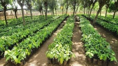 Photo of AGRICULTURE: Governor AbdulRahaman approves distribution of hybrid Cocoa Seedlings to Farmers